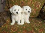 Cute and Adorable Bichon Frise Puppies for sale