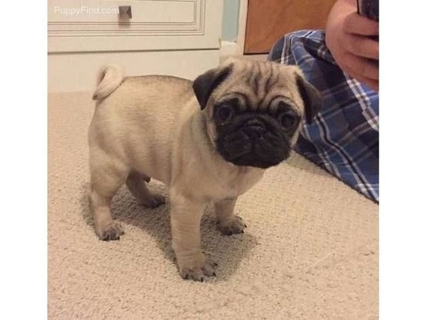 KC REG PUG PUPPIES FROM HEALTH TESTED PARENTS