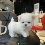 Charming Teacup Maltese Puppies for Sale.