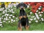 Doberman Puppies:EMAIL:baldrinacha4@gmail.com