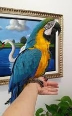 Talking Blue And Gold Macaws parrots for Sale