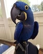 Talkiing Hyacinth Macaw Parrots for sale