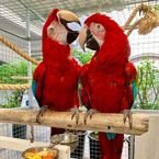 Green wing macaw male and female Available