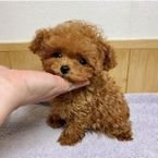 Gorgeous Toy Poodle Puppies available