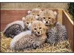 Tigers, Cheetah Cubs For Sale