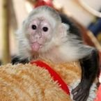 11 weeks old  Capuchin Monkeys Available  /+971 52 846 4905