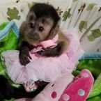 11 weeks old  Capuchin Monkeys Available