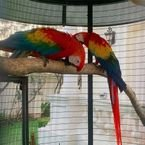 Adorable male and female Scarlet Macaw Parrots for sale