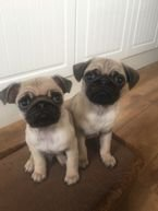 Healthy Pug Puppies