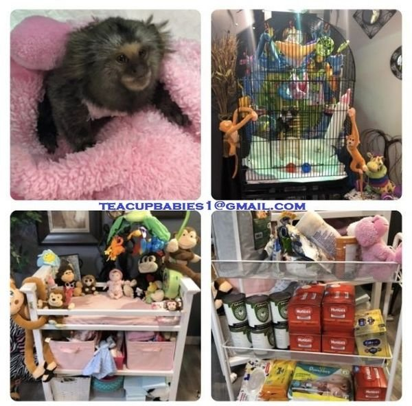 Baby white tufted marmosets for sale. USDA and FWC licensed facility.