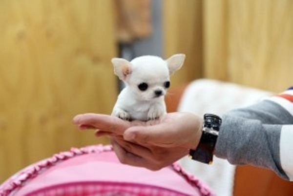Teacup Chihuahua puppies for adoption