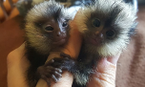 Marmoset monkeys available.