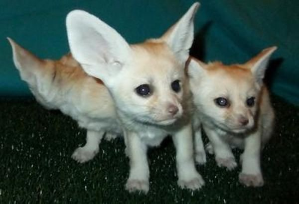 Registered Fennec fox for sale