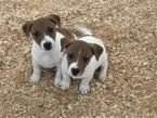 ADORABLE JACK RUSELL PUPPIES FOR FREE ADOPTION