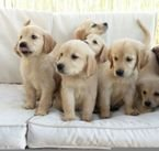 Absolutely Cute Golden Retriever Puppies Available for sale