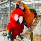 Charming male and female Scarlet macaws ready for rehoming