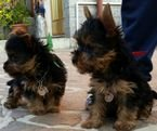 Aweasome Tiny yorkies male and female for sale