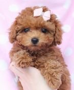Cute toy poodle puppies ready for a new home
