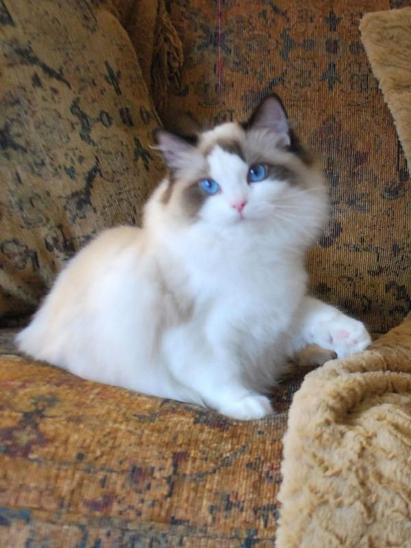 Beautiful Male and female Ragdoll kittens ready for sale
