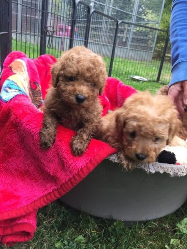 Gorgeous Toy Poodle Puppies For Ready