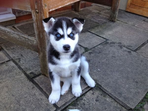 Best Siberian husky puppies ready for sale