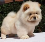 Chow chow poppies available both male and female