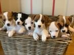 Jack Russell puppies available now