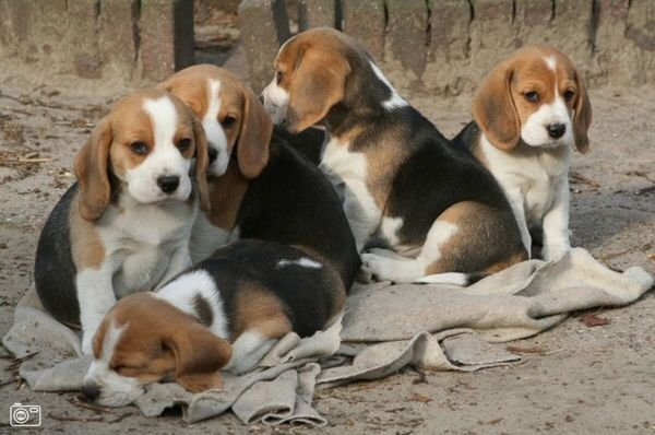Adorable family of Beagle puppies available for adoption