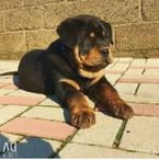 Rottweiler puppy ready for their new home