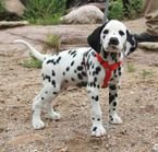 Beautiful Dalmatians puppies ready to go now