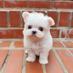 Awesome Teacup Maltese Puppies