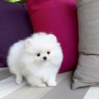 Cute Micro Teacup Teacup Pomeranian Puppies For sale