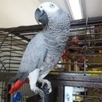 Talkative male and female African Grey parrots available now for sale