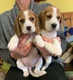 Gorgeous Beagle Puppies Available