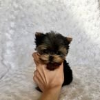 Lovely male and female teacup Yorkie puppies ready for new homes