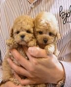 Cute and adorable Toy Poodle puppies