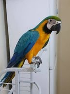 Adorable talking Pair of  Blue And Gold Macaws Parrots