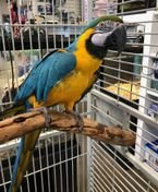 Talking Blue and Gold Macaw parrots for good homes now