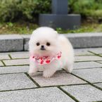 Cute and Adorable Teacup Pomeranian Puppies for sale