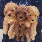 Gorgeous Toy Poodle Puppies for adoption