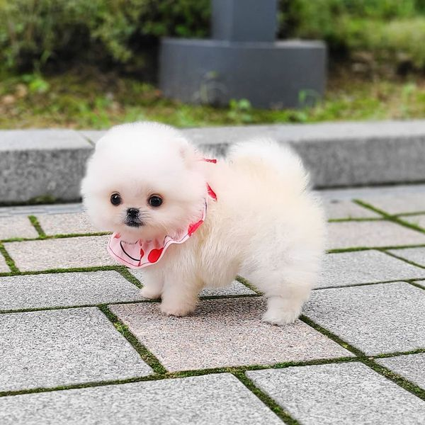 Awesome Teacup Pomeranian puppies for sale – Labeb Open Souq