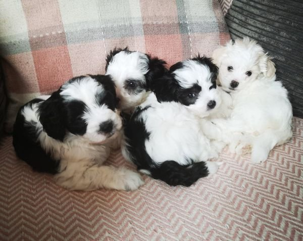 Terrible maltipoo puppies available - female and male