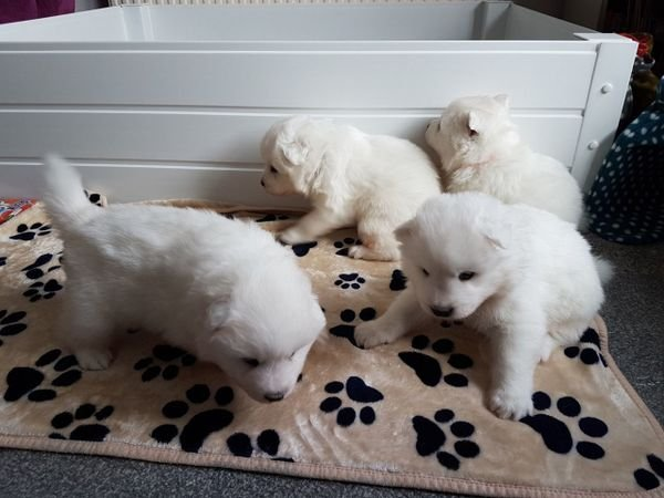 Beautiful puppy puppies for sale