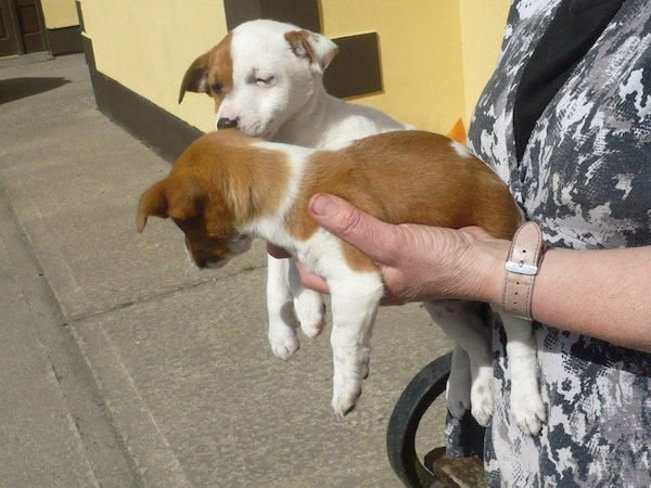 Nice jack russel puppies for sale