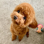 Cute Toy Poodle for re-homing