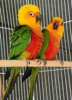 Jenday Conure for Sale