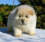 Adorable Chow Chow Puppies for Rehoming