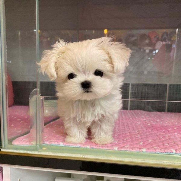 Absolutely Healthy Teacup Maltese Puppies