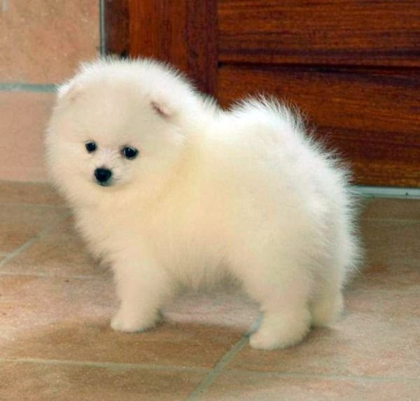Awesome Teacup pomeranian puppies