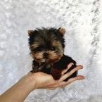 Gorgeous Teacup Yorkie puppies available